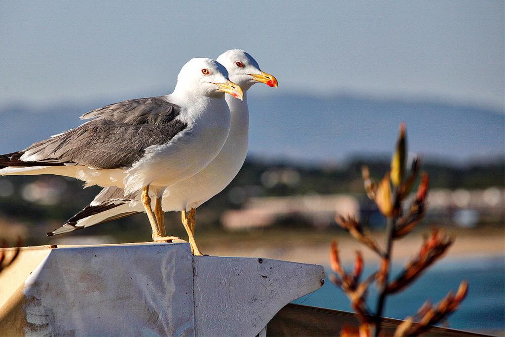 Foto von zwei Moewen in Lagos (Portugal)