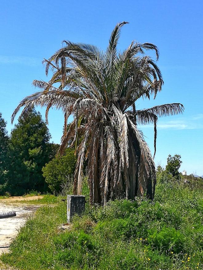 Foto einer eingehende Palme in Portugal